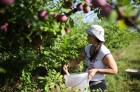 Russia Cherry Plums Harvest